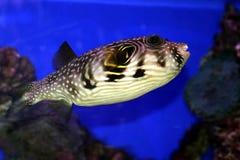 Ein korallenroter Fisch im Roten Meer Lizenzfreie Stockfotos