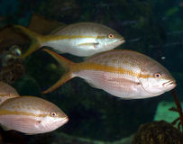 Ein korallenroter Fisch im Roten Meer Lizenzfreies Stockfoto