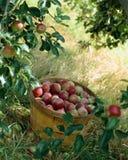 Ein Korb der Äpfel Lizenzfreies Stockfoto