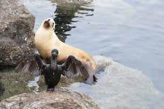 Ein Kormoran dehnt seine Flügel vor einem Seelöwe im californ aus Stockfoto