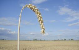 Ein Kornohr am Weizenfeld über blauem Himmel Stockfoto