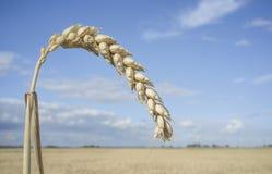Ein Kornohr am Weizenfeld über blauem Himmel Lizenzfreie Stockfotografie