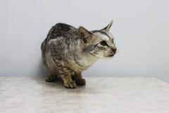 Ein krankes Zuchtkatze toyger in den Händen des Inhabers Es wird für Prüfung und Behandlung in einer Veterinärklinik geholt lizenzfreies stockbild