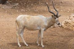 Ein kritisch gefährdetes Wüstenkuh-Wüstenkuh nasomaculatus alias das screwhorn oder die weiße Antilope stockbilder