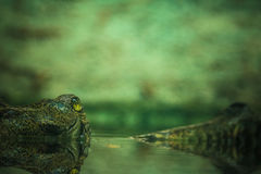 Ein Krokodil, das aus dem Wasser heraus lugt Lizenzfreies Stockbild