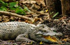 Ein Krokodil, das in der Sonne sich aalt Lizenzfreies Stockbild