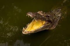 Ein Krokodil, das Zähne zeigt Stockfoto