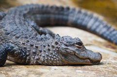 Ein Krokodil horizontal   Lizenzfreie Stockbilder