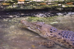Ein Krokodil legen auf einem Pool nieder stockfotografie