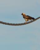 Ein Kurz-toed Adler, der auf einem Seilzug stillsteht Lizenzfreie Stockfotografie