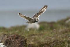 Ein kurzohriges Owl Asio-flammeus im Flug Lizenzfreie Stockbilder