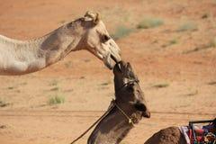 Ein Kuss im Wüste _Kamel-Küssen Stockfotografie