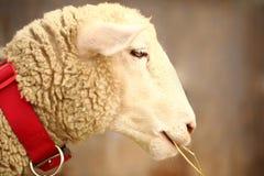 Ein lächelndes, nettes und schönes Schaf, das auf einem Stroh kaut Stockfotografie