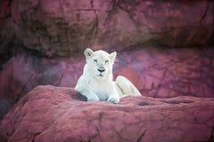 Ein Löwe Stockfotografie