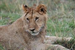 Ein Löwe, der in der Sonne stillsteht Stockfoto