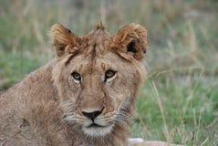 Ein Löwe, der etwas Zinsen zeigt Stockbild