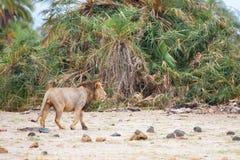 Ein Löwe ist Weg weg im Busch, Safari Stockfotografie
