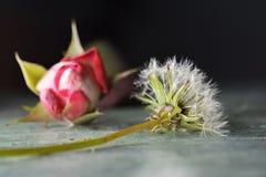 Ein Löwenzahn und eine Rose stockbild