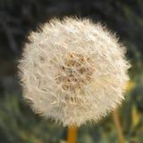 Ein L?wenzahn gedreht zum Samen stockbild
