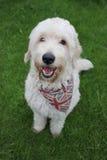 Ein Labradoodle Hundeportrait Lizenzfreies Stockfoto