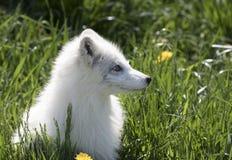 Ein Lagopus Vulpes Ausrüstung des arktischen Fuchses im Gras an einem Frühlingstag in Kanada Lizenzfreie Stockfotos