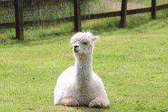 Ein Lama Stockfotos