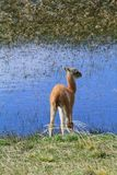 Lama CUB durch das Wasser lizenzfreies stockfoto