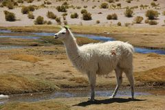Ein Lama, das auf dem Altiplano weiden lässt lizenzfreies stockbild
