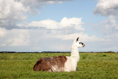 Ein Lama, das im Gras liegt Stockfotos