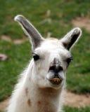 Ein Lama, ein südamerikanisches Tier lizenzfreies stockbild