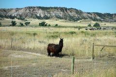 Ein Lama in South Dakota Stockfotos