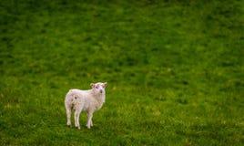 Ein Lamm auf einem Feld des Grases, Island Lizenzfreie Stockfotografie