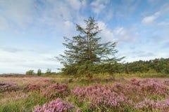 Ein lanch Baum und blühende Heide Lizenzfreies Stockbild