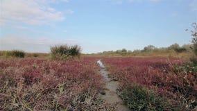 Ein Landschaftsrotes Feld mit einem kleinen Fußweg stock video footage