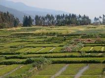 Ein Landwirt, der an einem Reis-Feld arbeitet Stockfoto