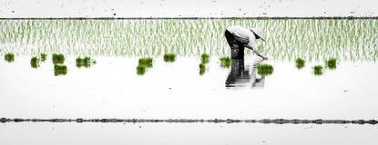Reis, der im Grün pflanzt Lizenzfreie Stockfotografie