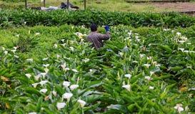 Ein Landwirt, der in voller Blüte weiße Calla-Lilienaronstablilie in einem großen Garten mit schönen Blumen erntet Lizenzfreies Stockbild