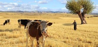 Ein Landwirt mit seinen Kühen Lizenzfreies Stockbild