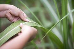 Ein Landwirtgriff das Zuckerrohrblatt auf dem Zuckerrohrgebiet Lizenzfreies Stockbild