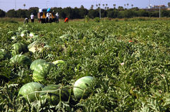 Ein landwirtschaftliches artel auf Wassermelonen Lizenzfreies Stockbild