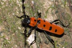 Ein lang-gehörnter Käfer stockbild