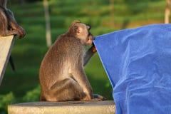 Ein langschwänziger Affe, der ein blaues Tuch in einem Hotel in Bali, Indonesien prüft Stockbilder