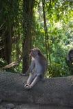 Ein langschwänziger Affe des Balinese Lizenzfreie Stockfotografie