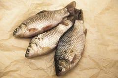 Ein lebender Fisch des frischen Karpfens, der auf a auf Papierhintergrund liegt Lebende Fische crucian Carassius auratus gibelio Stockbild