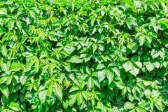 Ein lebender Zaun Der Efeu auf dem Zaun Grüne Hecke Strukturierter Gemüsehintergrund lizenzfreie stockfotos