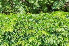Ein lebender Zaun Der Efeu auf dem Zaun Grüne Hecke Strukturierter Gemüsehintergrund lizenzfreies stockfoto