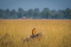Ein Lebensraumbild von Wiesenweihe oder Zirkus pygargus, das auf einer sch?nen Stange in den Wiesen an tal chappar blackbuck Scho lizenzfreie stockfotografie