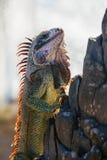 Ein Leguan Lizenzfreies Stockbild