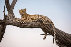 Ein Leopard, der auf einem Baum stillsteht stockbild