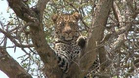Ein Leopard, der auf einer Niederlassung eines Baums sitzt stock video footage